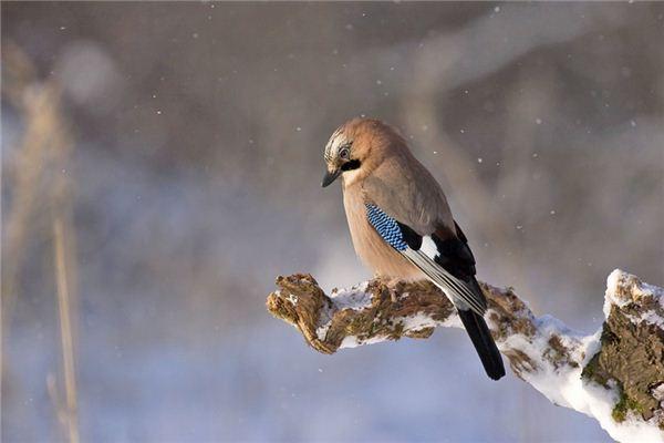 梦见知更鸟是什么意思
