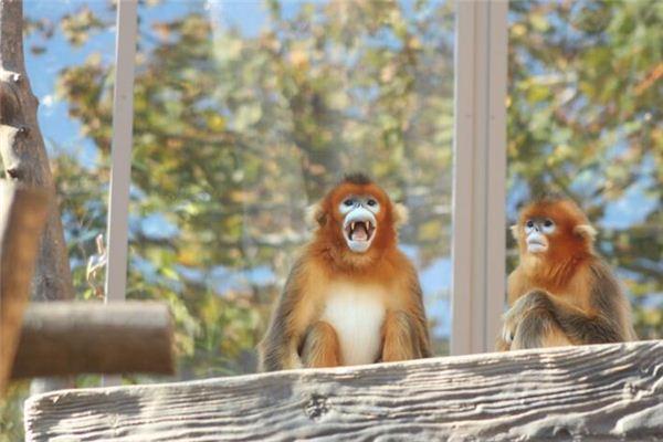 梦见金丝猴是什么意思