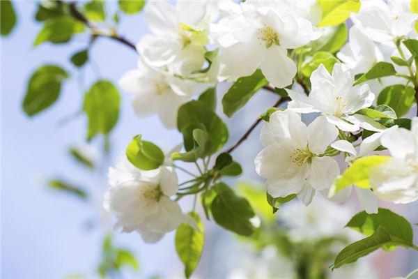 梦见海棠花是什么意思