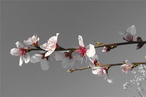 梦见杏花开是什么意思