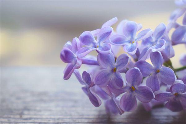 梦见丁香花是什么意思