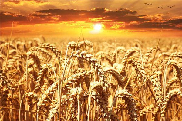 夢見麥子是什么意思