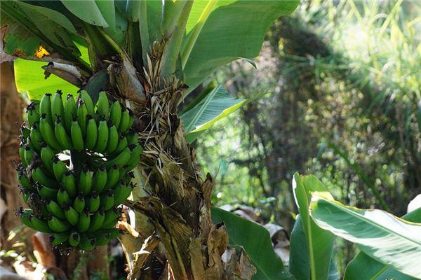 梦见香蕉树是什么意思