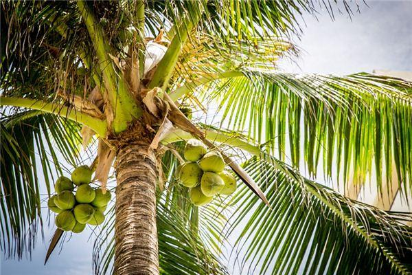 梦见椰子树是什么意思