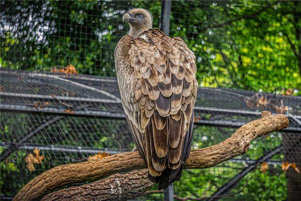 梦见秃鹰是什么意思