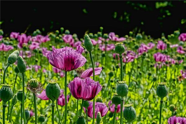 梦见罂粟是什么意思