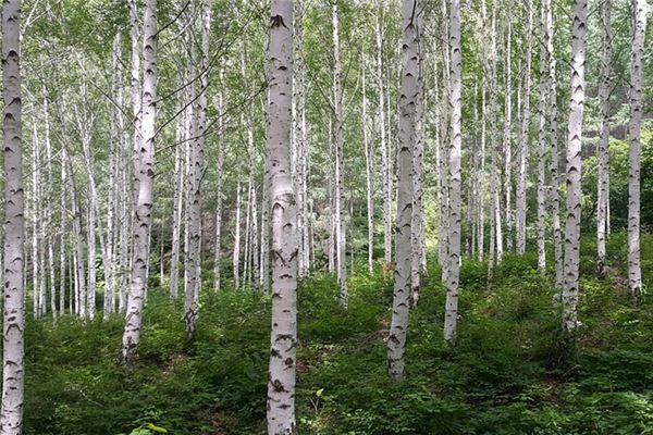 梦见桦树是什么意思