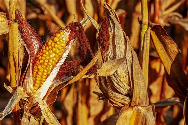 梦见收玉米是什么意思