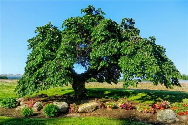 梦见榆树是什么意思