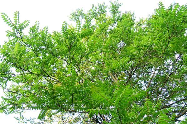 梦见椿树是什么意思