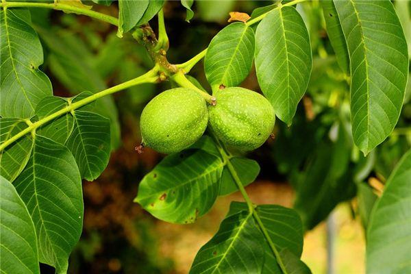 梦见核桃树是什么意思