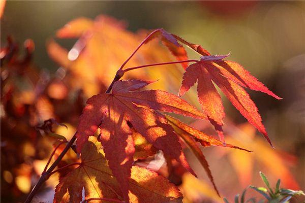梦见枫树是什么意思