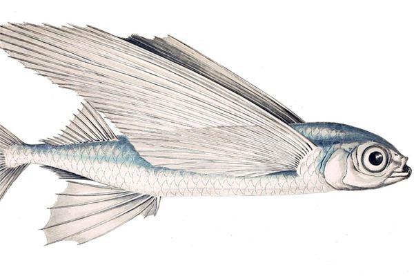 梦见飞鱼是什么意思
