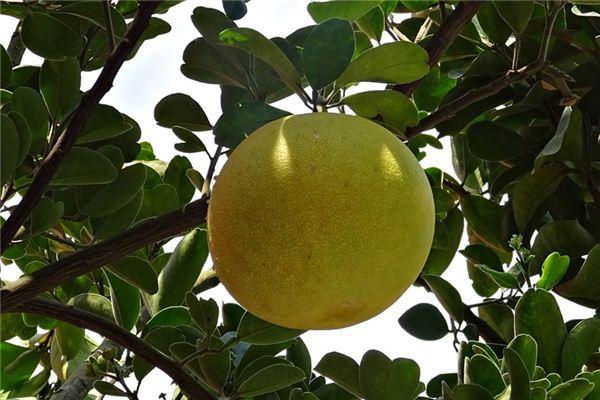 梦见柚子树是什么意思