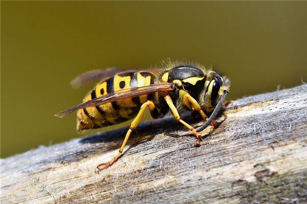梦见大黄蜂是什么意思