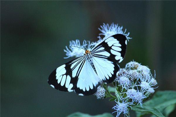 梦见白蛾是什么意思