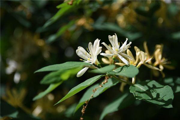 梦见金银花是什么意思