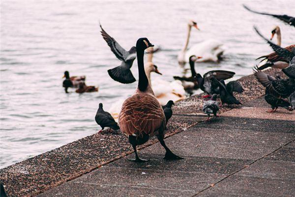 梦见鸡鸭鹅是什么意思