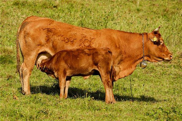 梦见牛生犊是什么意思