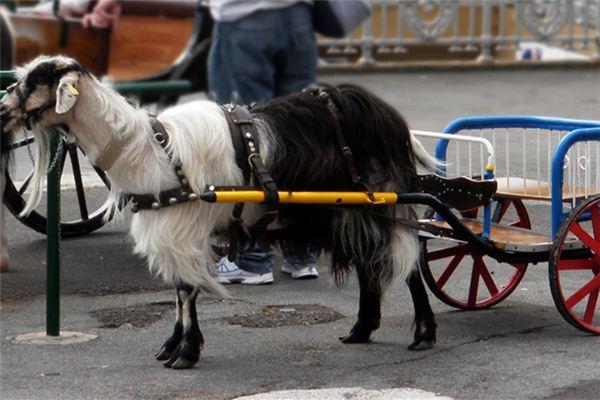 梦见羊车是什么意思