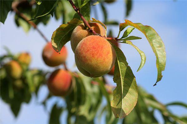 梦见种桃树是什么预兆