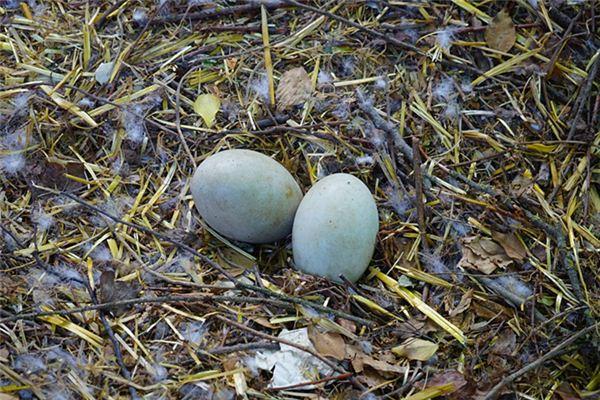 梦见捡鹅蛋是什么意思