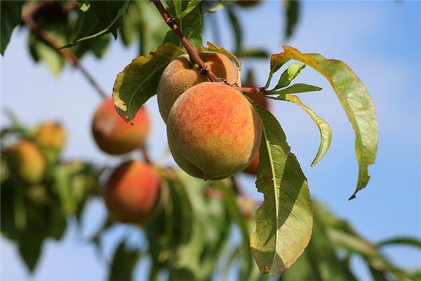 梦见摘桃是什么预兆