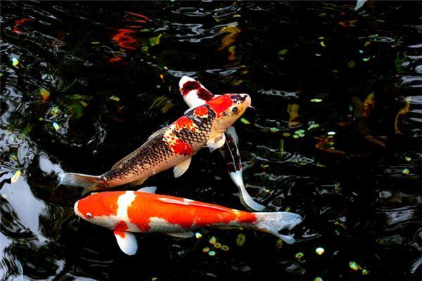 孕妇梦见鲤鱼