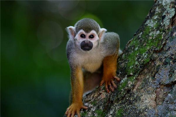 梦见养猴子