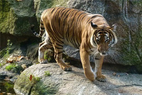梦见老虎吼叫是什么意思