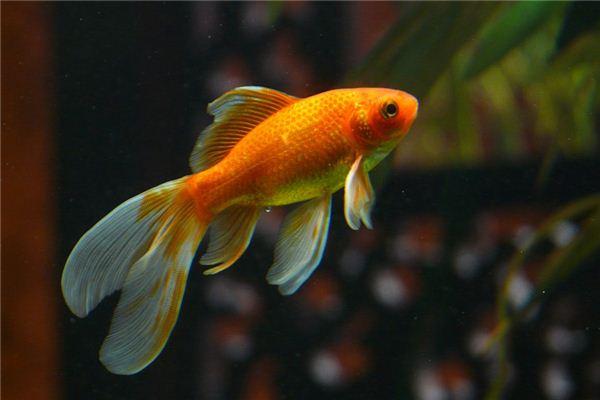 梦见捞起金鱼是什么意思
