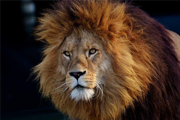 做梦梦到狮子是什么意思