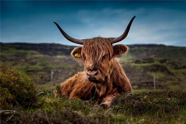 梦见牛被杀