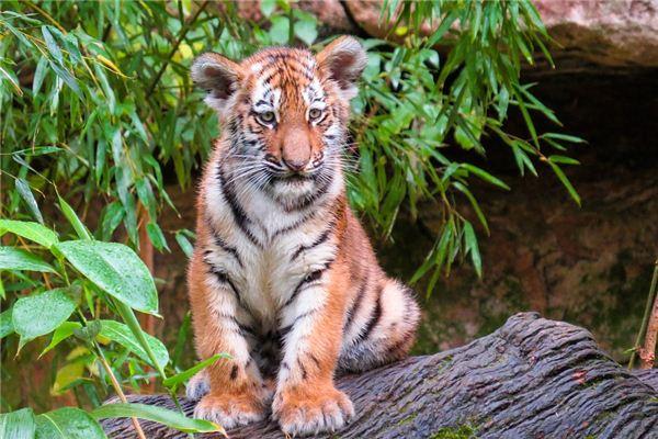 梦见一只小老虎