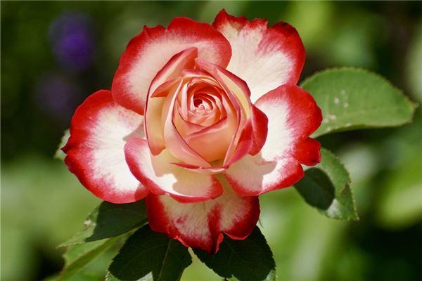 梦见梦到花是什么意思