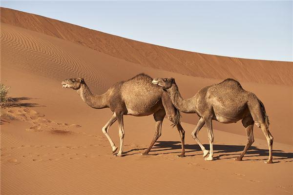 梦见梦到骆驼是什么意思