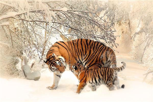 属虎为啥不怕事