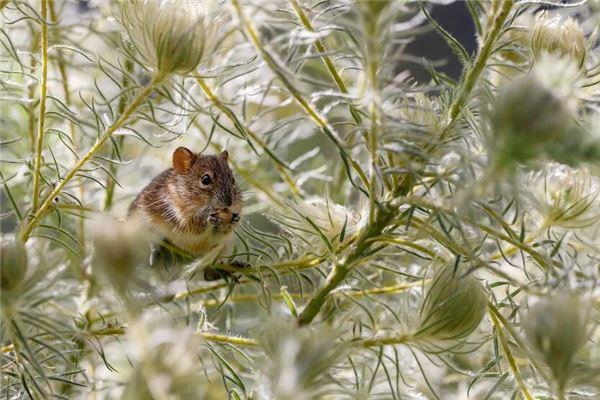 正月出生的鼠