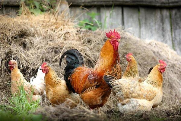 52歲屬雞的是哪年出生的