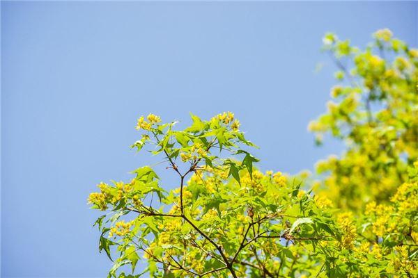 桂花樹的作用是什么