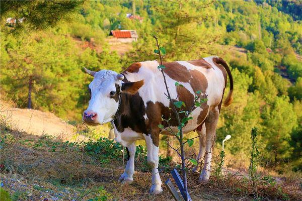 1997年属牛的是什么命