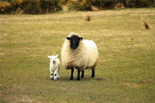 生肖羊今年多大岁数