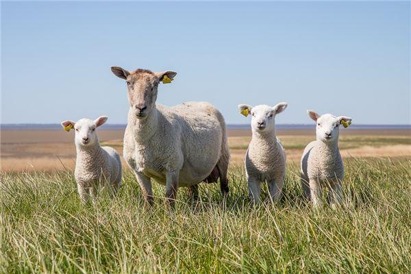 生肖羊今年多大了