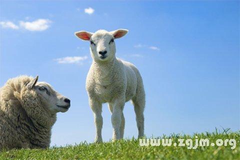 大奖娱乐平台绵羊