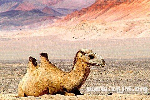 大奖娱乐平台骆驼
