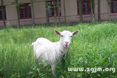 大奖娱乐平台山羊