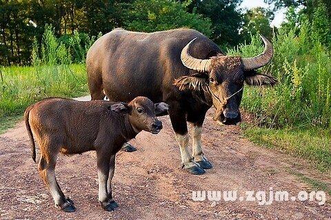 梦见牛犊 小牛