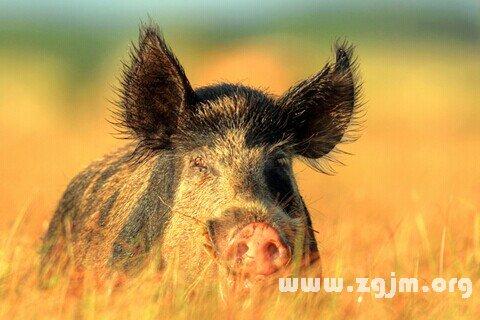 大奖娱乐平台野猪