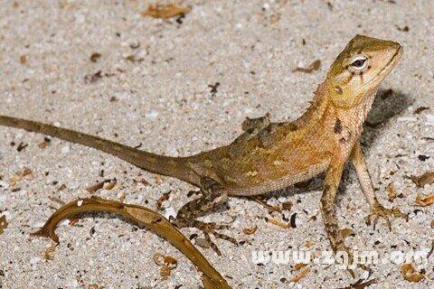 孕妇梦见蜥蜴