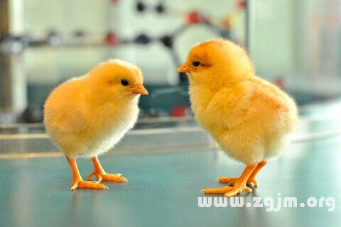 梦见雏鸡 小鸡